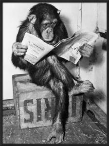 chimpance-leyendo-el-periodico